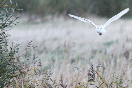 The white lady - in French the silent barn owl is known as la dame blanche