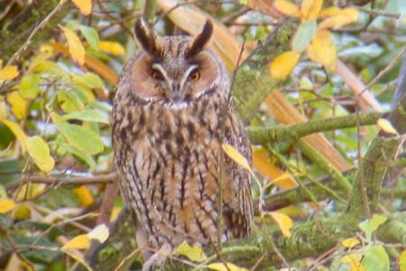 1501long-eared-owl