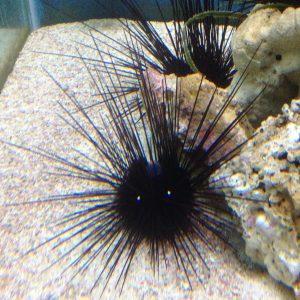 Tiny-eyed urchin