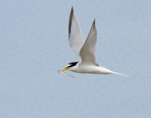Little tern Rye Harbour Nature Reserve