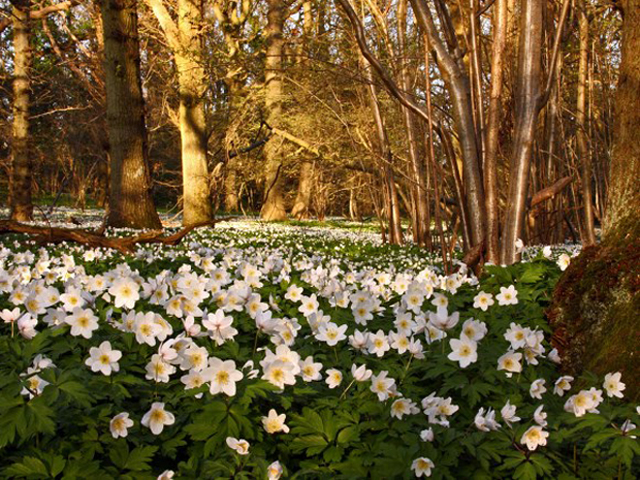Woodland Trust wood anemone