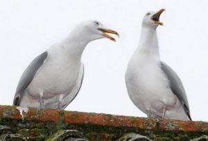 Living with gulls